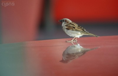 Bird in the mirror