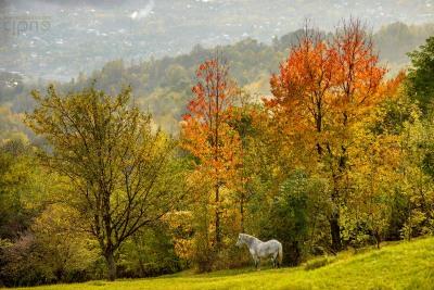 Calul tomnatec