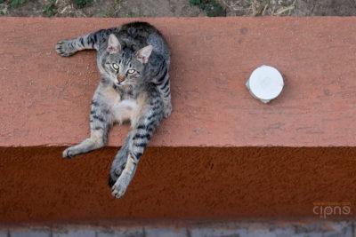 Lizard Cat