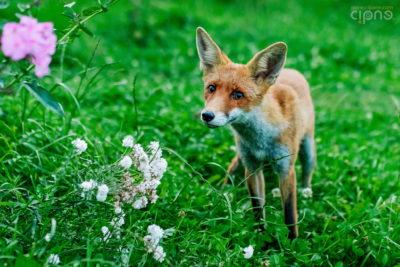 Hey, foxy lady!