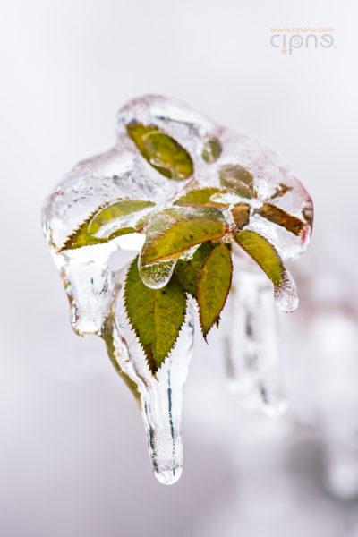 În loc de flori de gheață, o floare cu viață