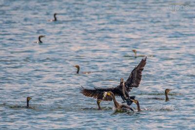 #277: Share the fish (Cormoran mare - Phalacrocorax carbo) (7 iulie)