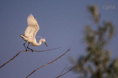 #292: Când încerci să mergi pentru prima oară pe sârmă (Egretă mică - Egretta garzetta) (28 iulie)