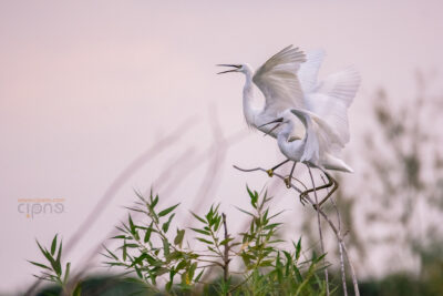 #290: Dialoguri pe-o cracă (Egretă mică cu pui - Egretta garzetta) (12 iulie)